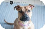Pit Bull Terrier Mix Dog for adoption in Jackson, Michigan - Bella
