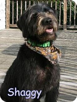 Labradoodle/Standard Poodle Mix Puppy for adoption in Houston, Texas - Lynchburg VA - Shaggy