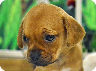 Pug/Terrier (Unknown Type, Medium) Mix Puppy for adoption in Searcy, Arkansas - Bessie