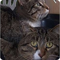 Domestic Shorthair Cat for adoption in Park Falls, Wisconsin - Barn Cats!!