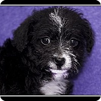 Adopt A Pet :: Huey - Fort Braff, CA
