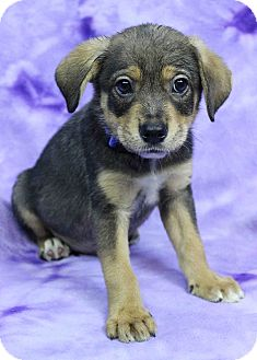 Shepherd (Unknown Type) Mix Puppy for adoption in Westminster, Colorado - Tyrone