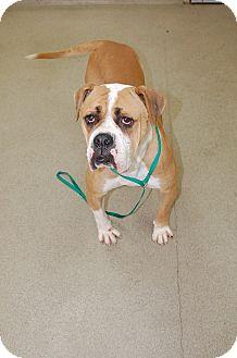 Boxer Mix Dog for adoption in Bucyrus, Ohio - Dutchess
