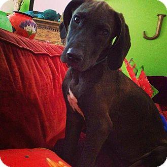 Great Dane/Hound (Unknown Type) Mix Puppy for adoption in Astoria, New York - Willie Nelson