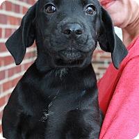 Adopt A Pet :: Raven - Southington, CT