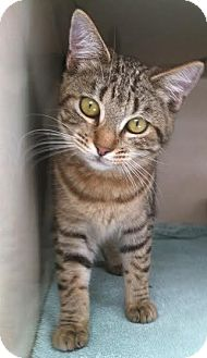 Domestic Mediumhair Kitten for adoption in Westminster, California - Coral