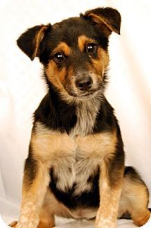 Australian Cattle Dog/Border Collie Mix Dog for adoption in Newland, North Carolina - Dolly