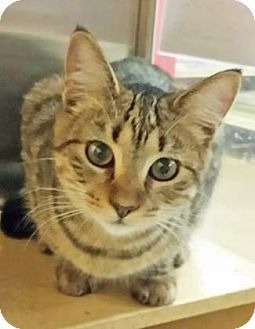 Domestic Shorthair Cat for adoption in McDonough, Georgia - Darla