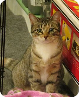 Domestic Shorthair Cat for adoption in Raritan, New Jersey - Cupid