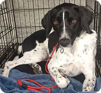 Pointer Mix Dog for adoption in Mount Pleasant, South Carolina - George