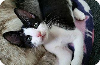Domestic Shorthair Kitten for adoption in Hollywood, California - Dallas