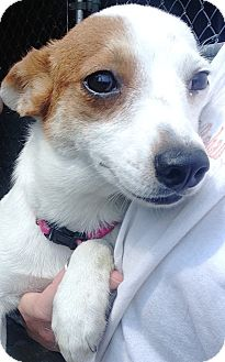 Chihuahua Mix Dog for adoption in Pompton Lakes, New Jersey - LIL SQUIRT