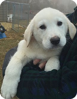 Great Pyrenees/Labrador Retriever Mix Puppy for adoption in Haggerstown, Maryland - Hurley