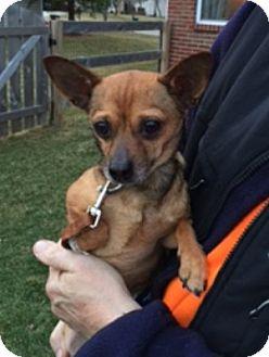 Chihuahua Mix Dog for adoption in Beavercreek, Ohio - Atlas