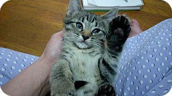 Domestic Shorthair Kitten for adoption in Columbus, Ohio - Skittles