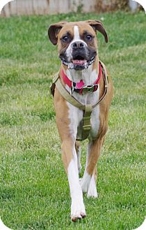 Boxer Dog for adoption in Boise, Idaho - XENA