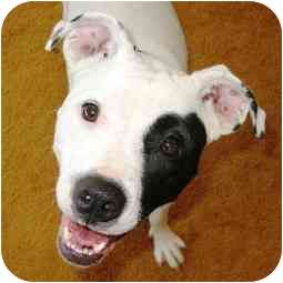 American Pit Bull Terrier Mix Puppy for adoption in Berkeley, California - Sally