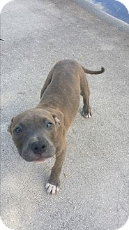 Pit Bull Terrier Mix Puppy for adoption in Port Charlotte, Florida - Itchy