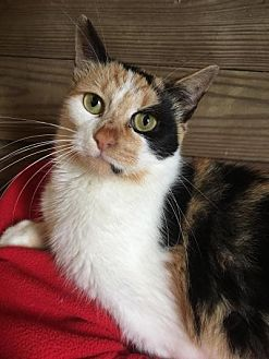 Calico Cat for adoption in Kingwood, Texas - Katie