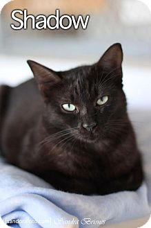 American Shorthair Cat for adoption in Vancouver, British Columbia - Shadow