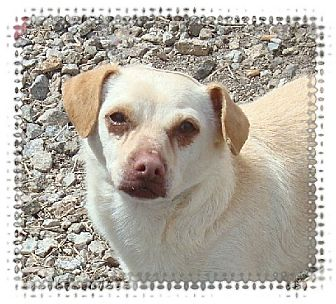 Chihuahua Mix Dog for adoption in Las Vegas, Nevada - Dillon