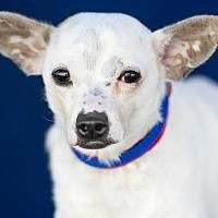 Adopt A Pet :: Trent - Colorado Springs, CO
