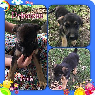 German Shepherd Dog/Labrador Retriever Mix Puppy for adoption in Manchester, Connecticut - Princess pending adoption