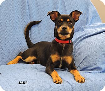 Chihuahua/Terrier (Unknown Type, Small) Mix Puppy for adoption in Washington, Georgia - Jake