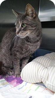 Domestic Shorthair Cat for adoption in Fernandina Beach, Florida - LANKY