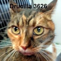 Adopt A Pet :: Drucilla - Manassas, VA