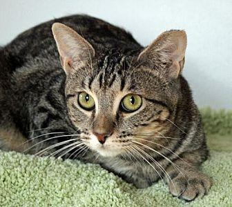 Domestic Shorthair Cat for adoption in San Jose, California - Koneko