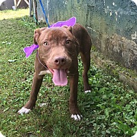 Labrador Retriever/American Pit Bull Terrier Mix Dog for adoption in Hagerstown, Maryland - Fawkes