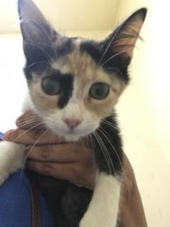 Domestic Shorthair/Domestic Shorthair Mix Cat for adoption in Miami, Florida - Liz