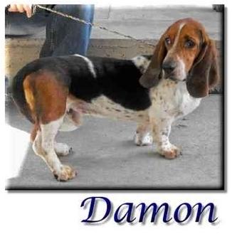 Basset Hound Dog for adoption in Marietta, Georgia - Damon