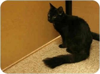 Bombay Cat for adoption in Orlando, Florida - Fluffy