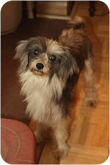Chinese Crested Dog for adoption in Brecksville, Ohio - Rona/IN SOUTH CAROLINA