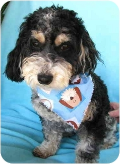 Havanese/Miniature Poodle Mix Dog for adoption in Irvine, California - Cargo