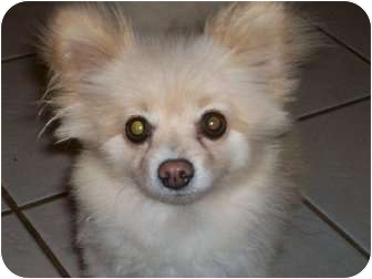 Pomeranian Dog for adoption in New Jersey, New Jersey - NJ - Bunny