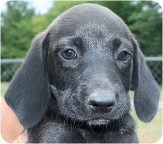 Labrador Retriever/Hound (Unknown Type) Mix Puppy for adoption in Londonderry, New Hampshire - Milou