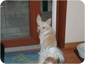 Chihuahua/Terrier (Unknown Type, Small) Mix Dog for adoption in Bellingham, Washington - Walle