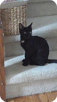 Domestic Shorthair Kitten for adoption in Sterling Hgts, Michigan - Cricket (nighttime cuddler)