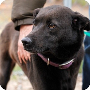 Labrador Retriever/Terrier (Unknown Type, Medium) Mix Dog for adoption in Athens, Georgia - Kumba