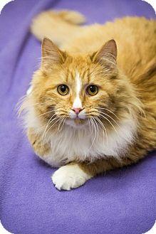 Maine Coon Cat for adoption in Chicago, Illinois - Goldilocks