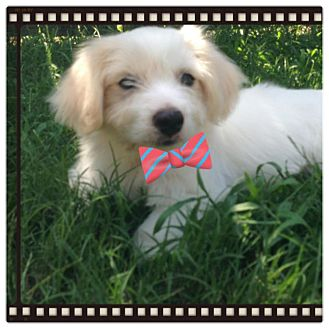 Maltese Mix Puppy for adoption in Fort Worth, Texas - EARL