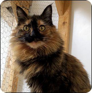 Domestic Longhair Cat for adoption in Colville, Washington - Dot
