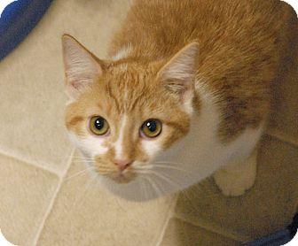 Domestic Mediumhair Kitten for adoption in Winchendon, Massachusetts - Miley