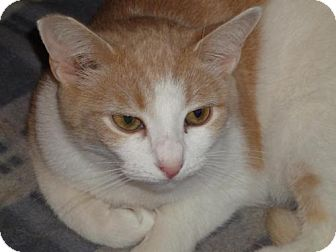 Domestic Shorthair Cat for adoption in Jersey City, New Jersey - Basil
