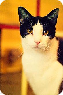 Domestic Mediumhair Cat for adoption in New York, New York - Casper