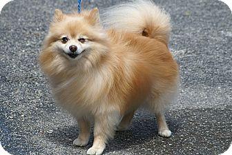 Pomeranian Dog for adoption in Englewood, Florida - Dizzy