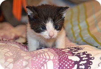 Domestic Shorthair Kitten for adoption in Brooklyn, New York - Allen